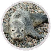 Injured Harbor Seal Round Beach Towel
