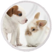 Jack Russell Terrier Puppy And Baby Round Beach Towel
