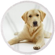 Labrador X Golden Retriever Puppy Round Beach Towel by Jane Burton