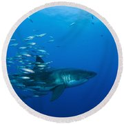 Male Great White Shark And Bait Fish Round Beach Towel