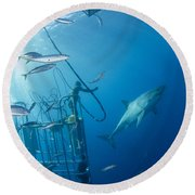 Male Great White Shark And Divers Round Beach Towel