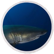 Male Great White Shark, Guadalupe Round Beach Towel