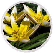 Mini Botanical Tulip Named Dasystemon Tarda Round Beach Towel