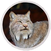 North American Lynx Round Beach Towel by Paul Fell