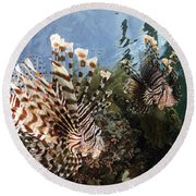 Pair Of Lionfish, Indonesia Round Beach Towel