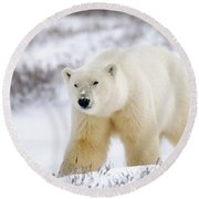 Polar Bear, Churchill, Manitoba Round Beach Towel