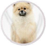 Pomeranian Dog Round Beach Towel