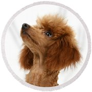 Red Toy Poodle Round Beach Towel