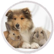 Rough Collie Pup With Two Young Rabbits Round Beach Towel