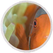 Spinecheek Anemonefish In Anemone Round Beach Towel
