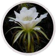 White Echinopsis Flower  Round Beach Towel