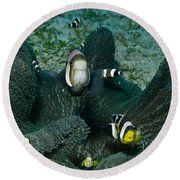 Whole Family Of Clownfish In Dark Grey Round Beach Towel