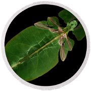X-ray Of A Giant Leaf Insect Round Beach Towel