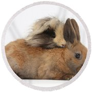 Long-haired Guinea Pig And Young Rabbit Round Beach Towel