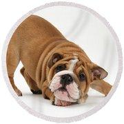 Playful Bulldog Pup Round Beach Towel