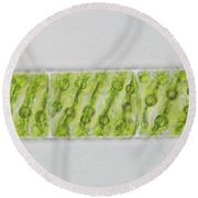 Spirogyra Sp. Algae Lm Round Beach Towel