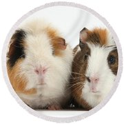 Two Guinea Pigs Round Beach Towel