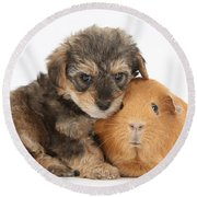 Yorkipoo Pup With Guinea Pig Round Beach Towel