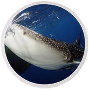 Whale Shark Feeding Under Fishing Round Beach Towel