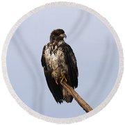 Juvenile Bald Eagle Round Beach Towel