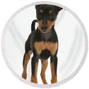 Miniature Pinscher Puppy Round Beach Towel