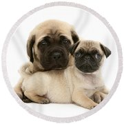 Pug And English Mastiff Puppies Round Beach Towel