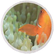 Spinecheek Anemonefish In Anemone Round Beach Towel