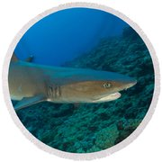 Whitetip Reef Shark, Kimbe Bay, Papua Round Beach Towel