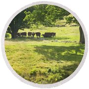 Cows Grazing On Grass In Farm Field Summer Maine Round Beach Towel