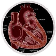 Illustration Of Heart Anatomy Round Beach Towel by Science Source