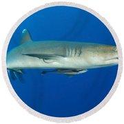 Whitetip Reef Shark, Kimbe Bay, Papua Round Beach Towel