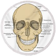 Illustration Of Anterior Skull Round Beach Towel by Science Source