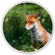 A British Red Fox Round Beach Towel