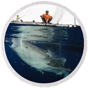 Whale Shark Feeding Under Fishing Round Beach Towel