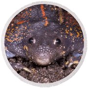 Mexican Burrowing Toad Round Beach Towel