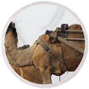 A Camel Foraging For Food In A Desert Environment Round Beach Towel