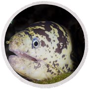 A Chain Moray Eel Peers Out Of Its Hole Round Beach Towel