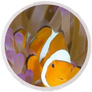 A Clown Anemonefish In A Purple Round Beach Towel