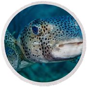 A Large Spotted Pufferfish Round Beach Towel