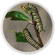 A Pair Of Monarch Caterpillars Round Beach Towel