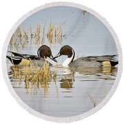 A Pair Of Northern Pintail Ducks  Round Beach Towel