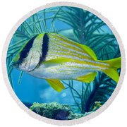 A Porkfish Swims By Sea Plumes Round Beach Towel