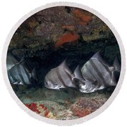 A School Of Atlantic Spadefish Round Beach Towel by Terry Moore
