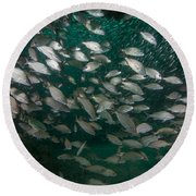 A School Of Tomtate And Glass Minnows Round Beach Towel