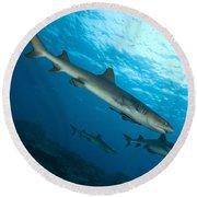 A Trio Of Whitetip Reef Sharks, Kimbe Round Beach Towel