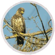 A Young Eagle Gazing Down  Round Beach Towel