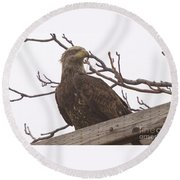 A Young Eagle In The Midst Of Change  Round Beach Towel