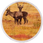 Adult Caribou In The Fall Colours Round Beach Towel