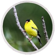 American Goldfinch - Single Male Round Beach Towel
