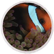 Anemonefish In Purple Tip Anemone Round Beach Towel